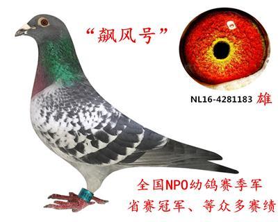 NPO全国幼鸽季军