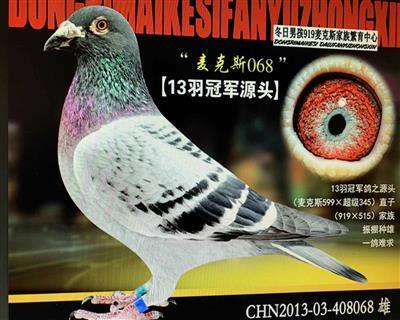 麦克斯068【13羽冠军鸽源头】网拍中