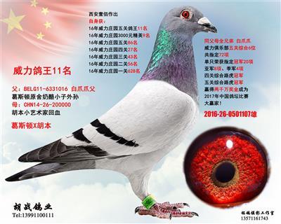 【白爪爪威力鸽王11位】