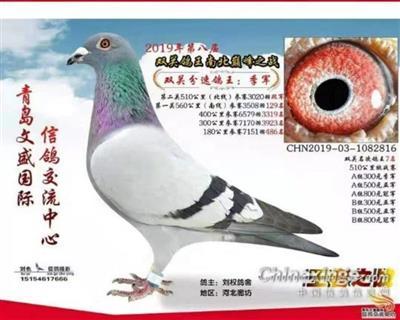 青岛文盛公棚双关鸽王季军