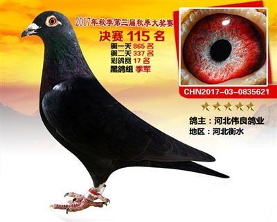 百团公棚决赛115名彩鸽组黑鸽季军