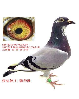 上海市大赛参加交易的获奖鸽