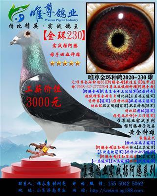 【金环230】杨阿腾实战系列