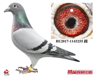 顶级鸽王-维多利亚