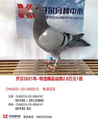 21年特选精品幼鸽2.8万元1羽