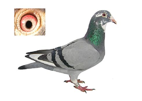 林波尔原环鸽