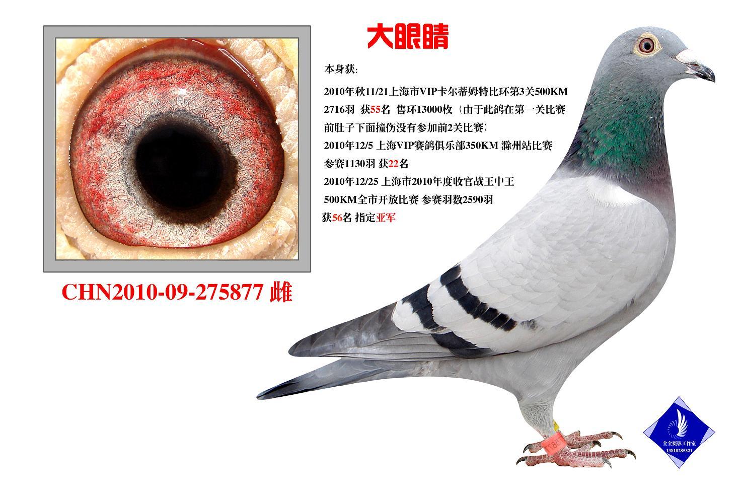 大眼睛 已转西安鸽友收藏