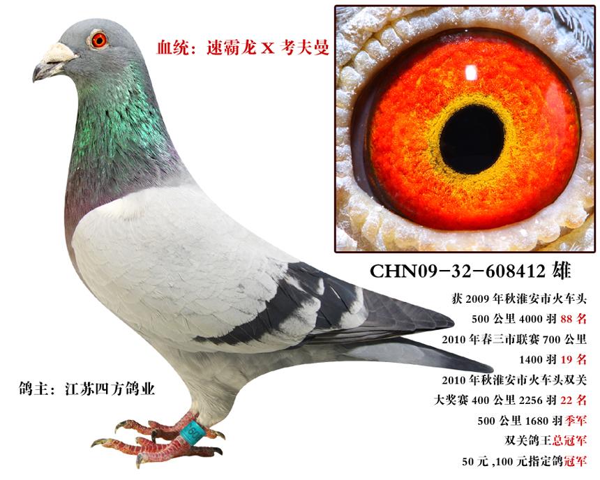 速霸龙鸽王总冠军【已转让北京鸽友】