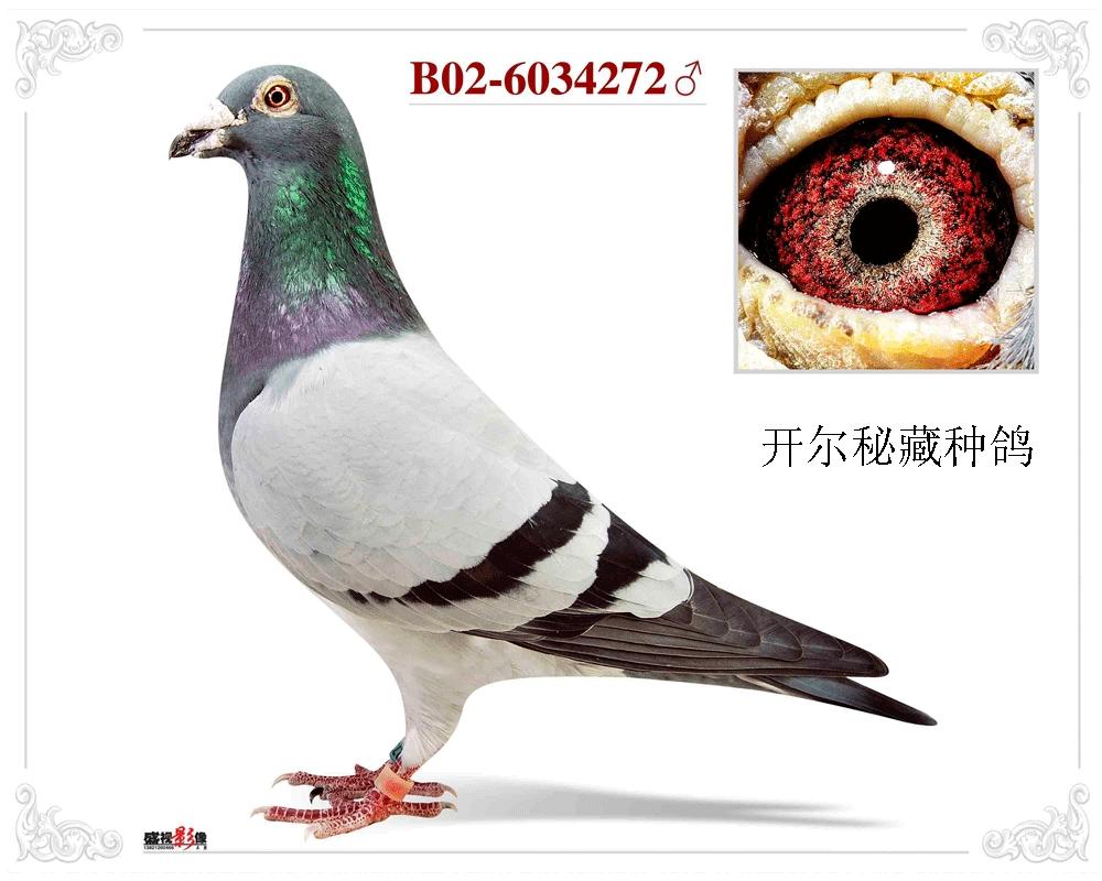 万侯:【老雄272】,开尔秘藏种鸽!