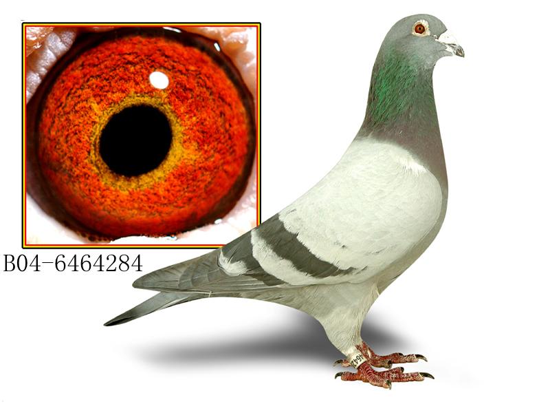 凡龙284(凡龙原舍最高辈份绝版种鸽)