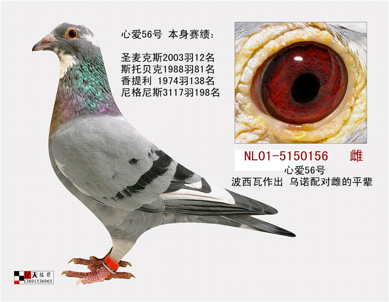 波西瓦 心爱56号 北京首信鸽业