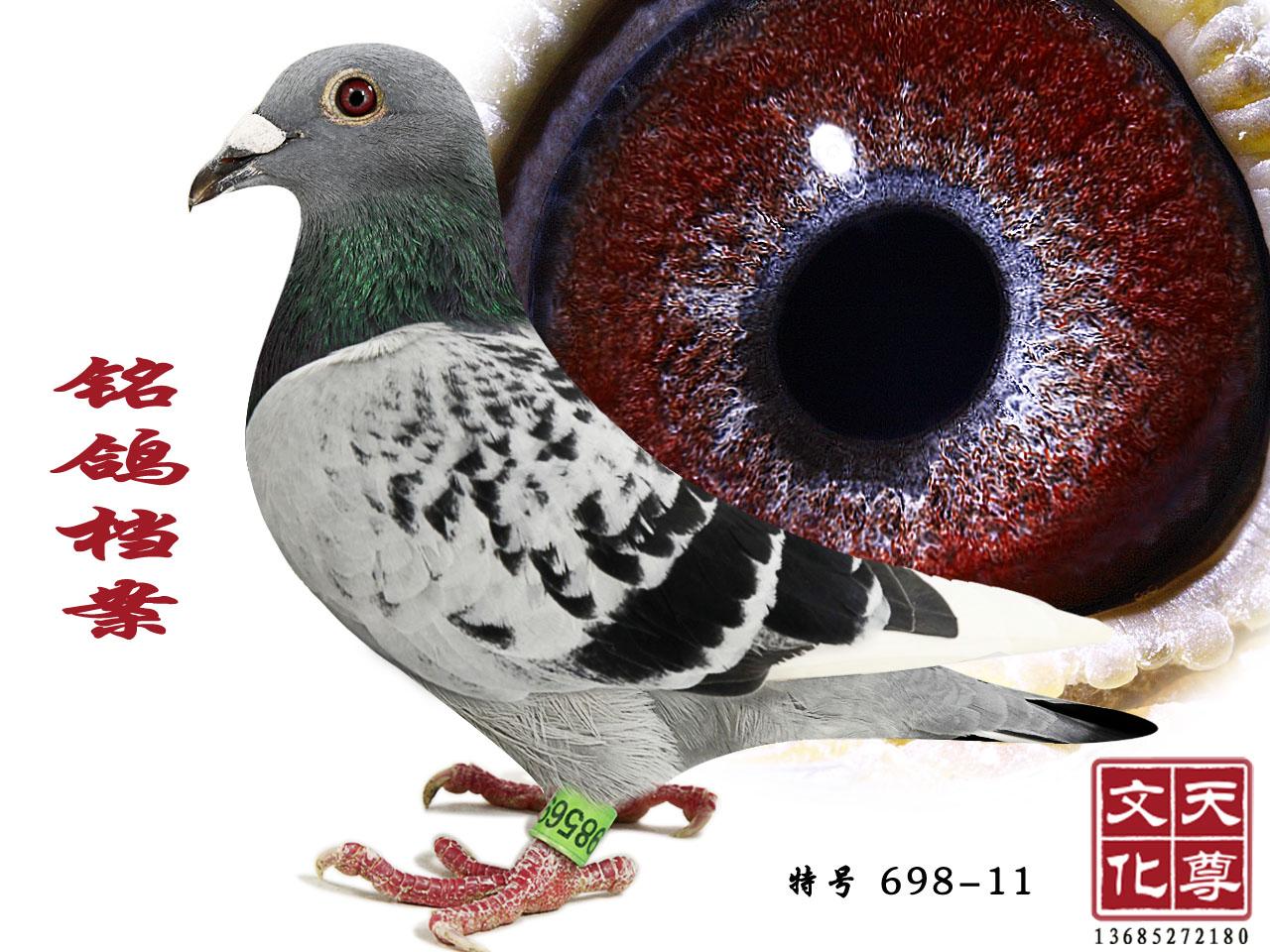 铭鸽档案 雄 特号 698-11