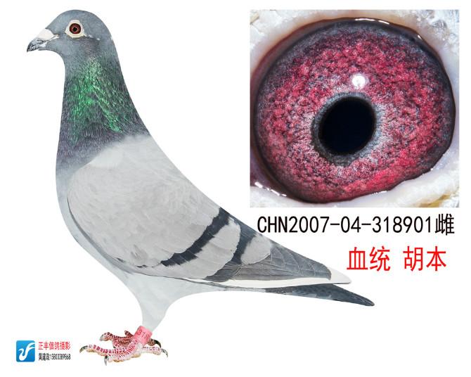 树林胡本信鸽图片欣赏 胡本信鸽图片欣赏 北京胡本信鸽图片欣赏