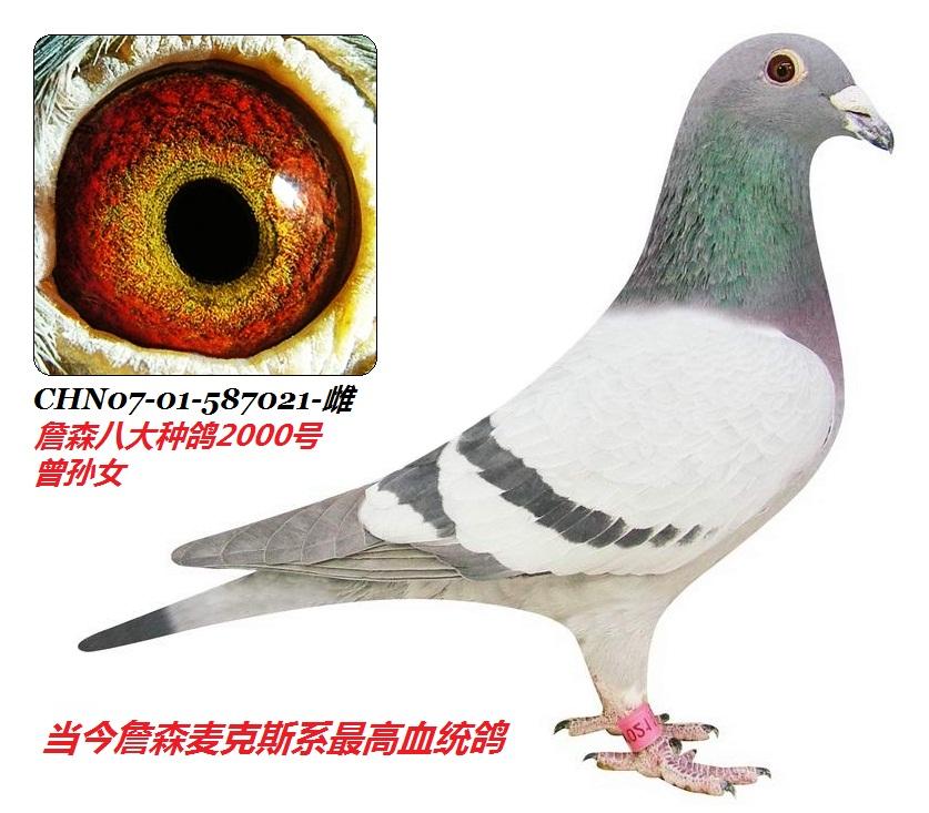 孙玮作詹森八大种鸽2000号外孙女21号
