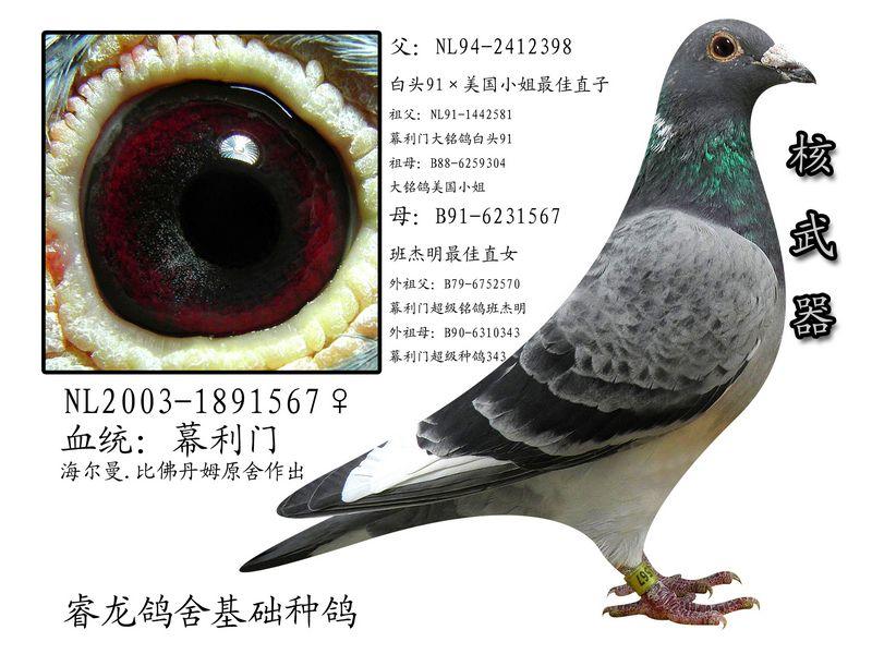 幕利门信鸽_微型小鸽篓幕利门中国信鸽信息网相册
