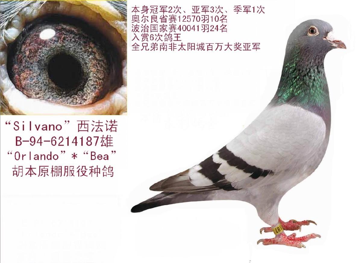 """胡本大名鸽""""西法诺"""""""