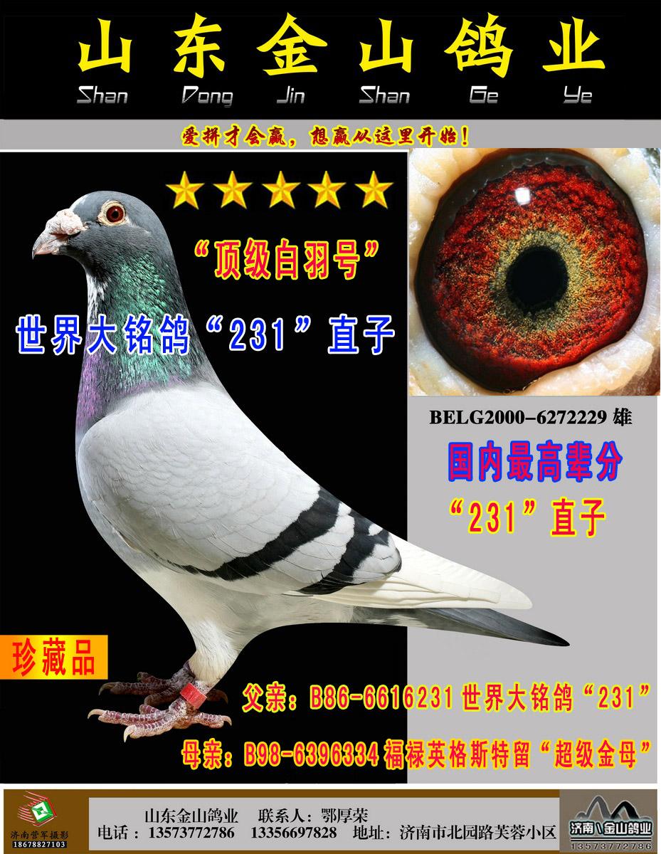 世界大铭鸽231直子顶级白羽号