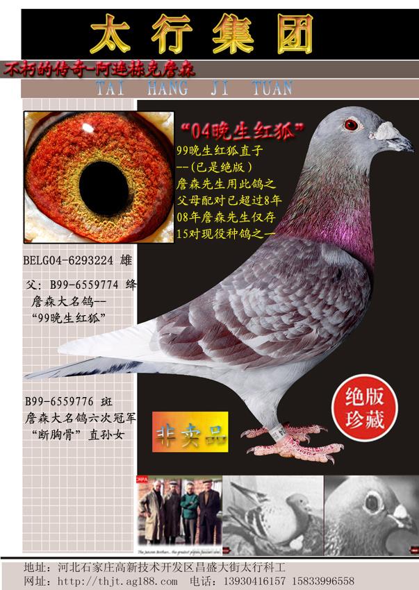 詹森原舍种鸽--大名鸽99晚生红狐直子
