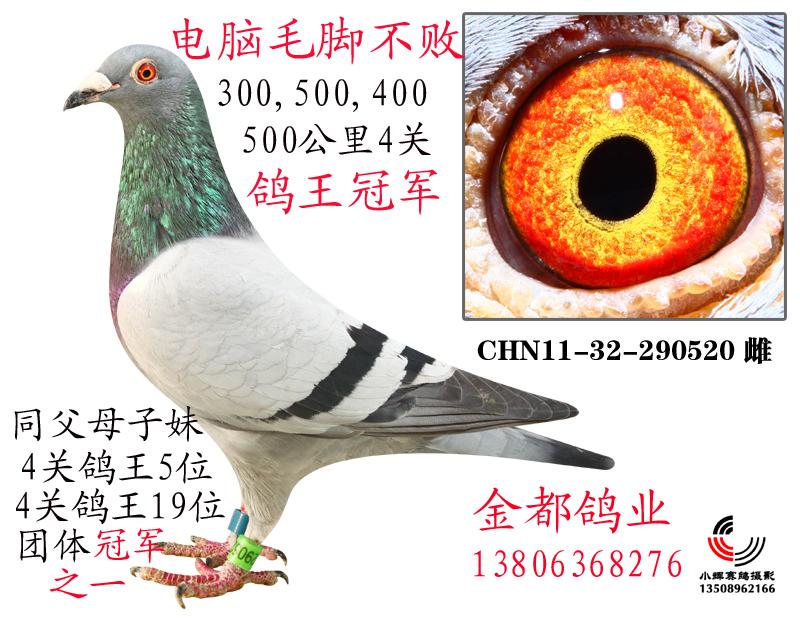 四关鸽王冠军