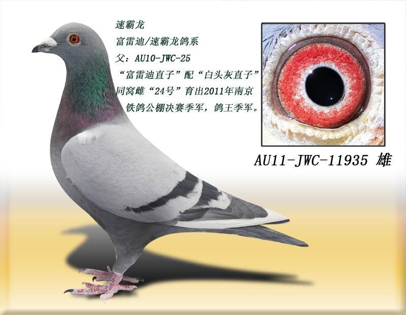速霸龙935 得元林海信鸽养殖中心 中信网爱鸽商图片