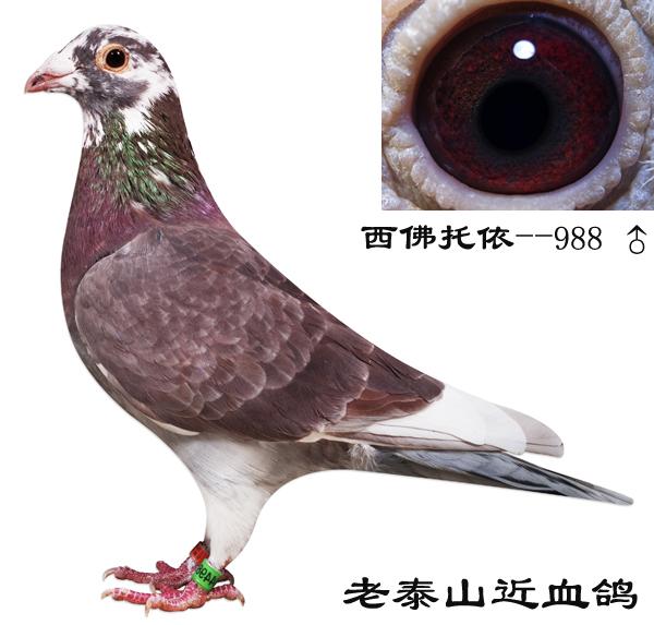 西佛托依-988_上海金盾鸽舍_ag188.com爱鸽