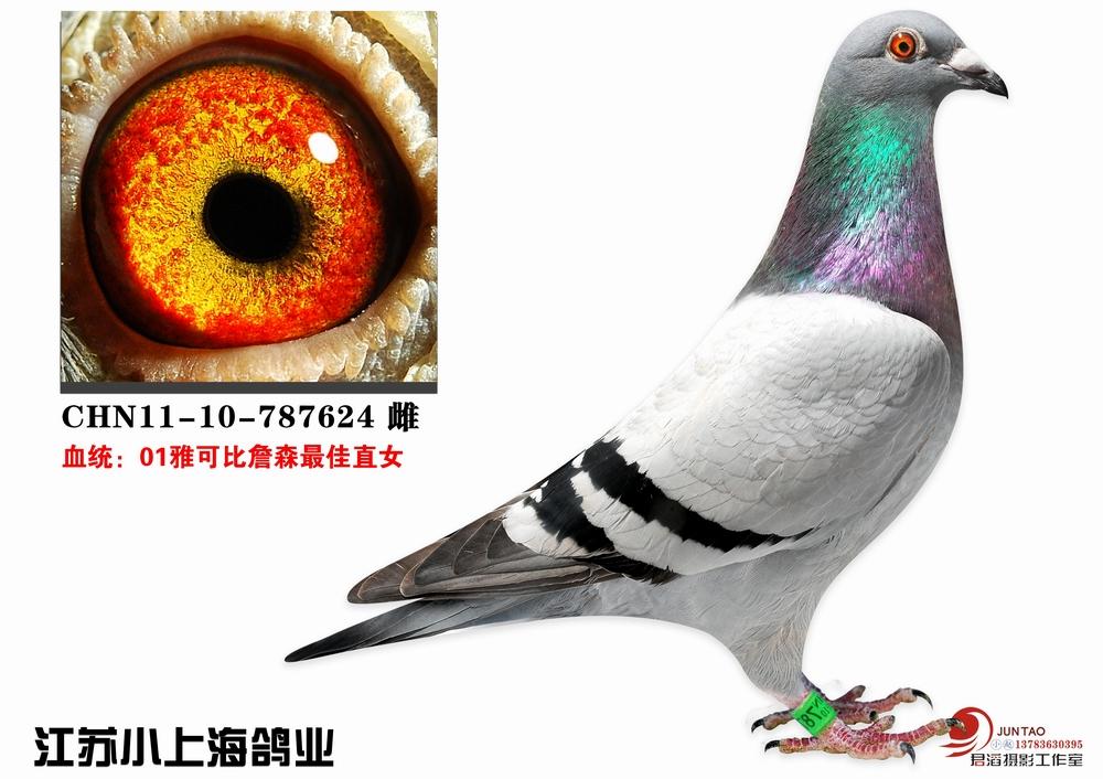 超级种鸽德国雅可比詹森直女_江苏小上海鸽业
