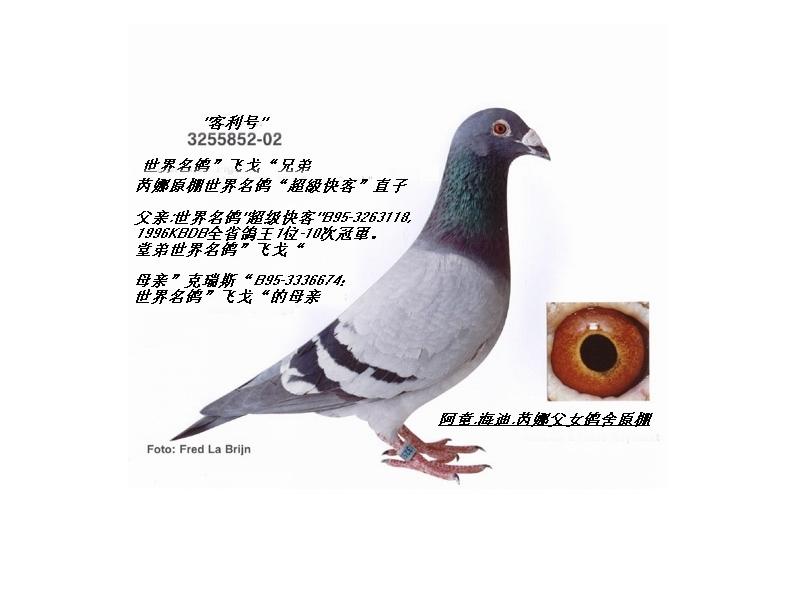 """世界名鸽""""飞戈""""兄弟"""
