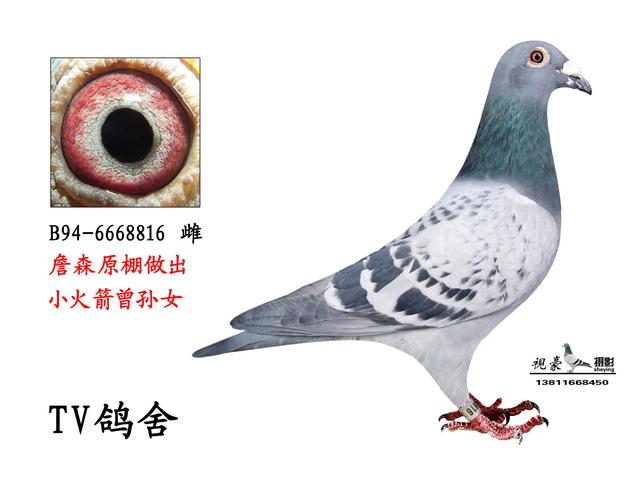 詹森原棚顶级种鸽