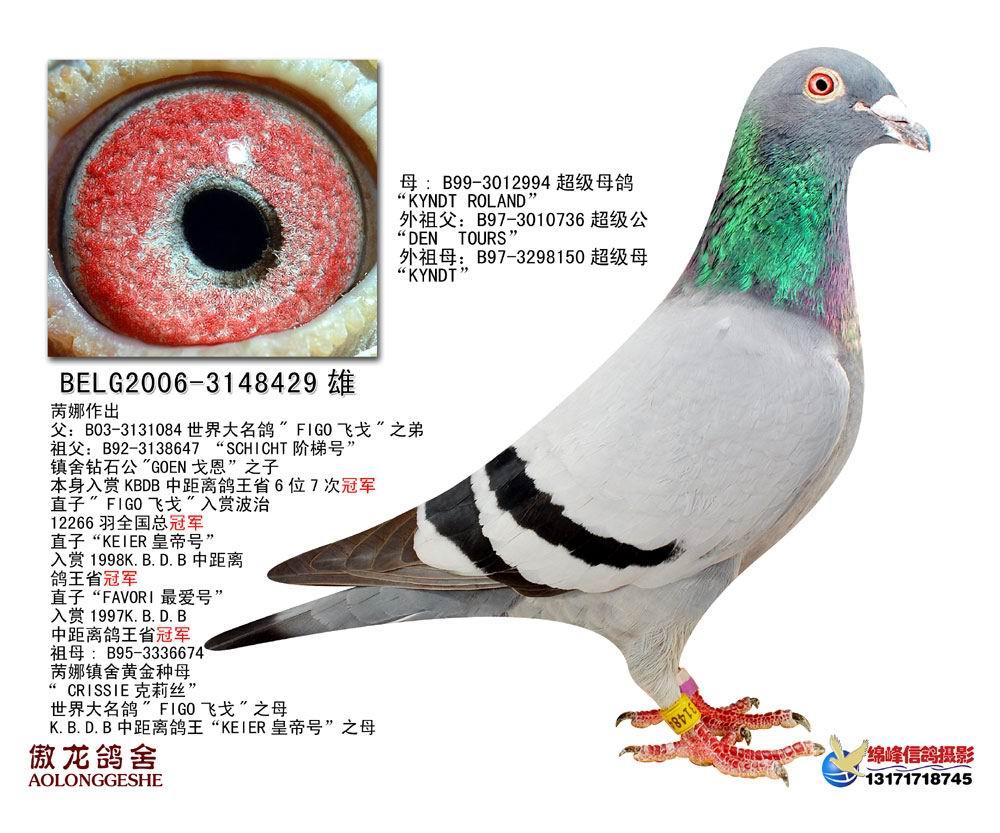 飞戈直系种鸽3(已出售)