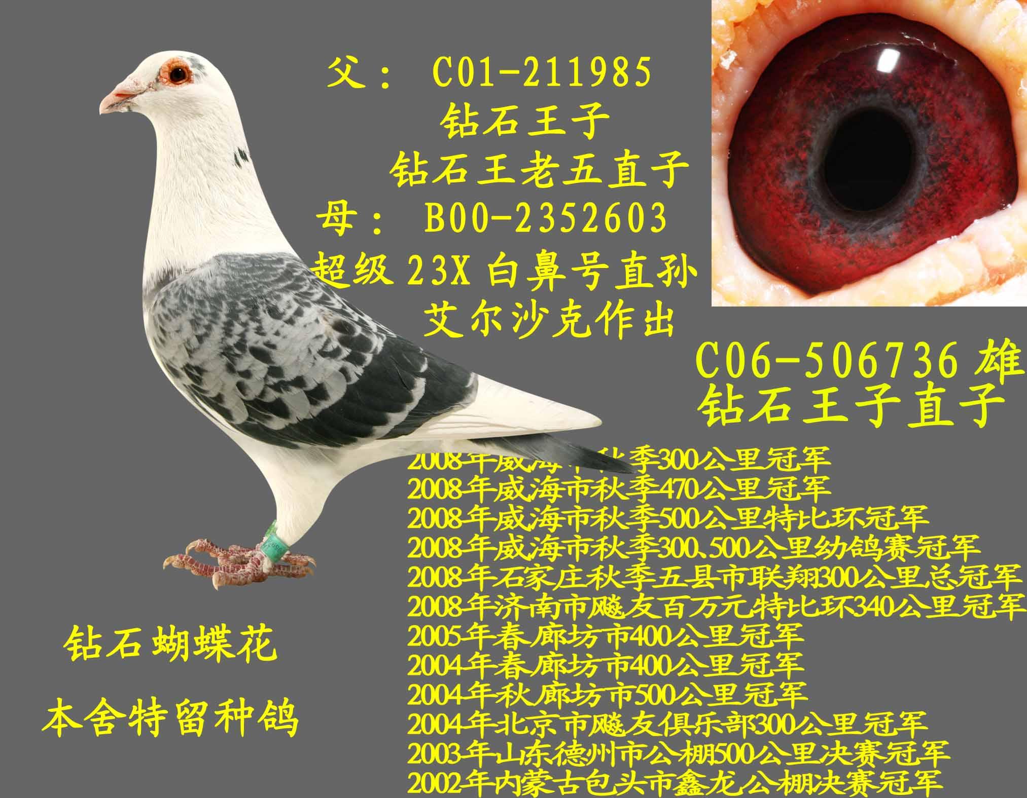 羽色:蝴蝶花; 信鸽特征; 王子宝石花_王老五鸽业_ ag188.