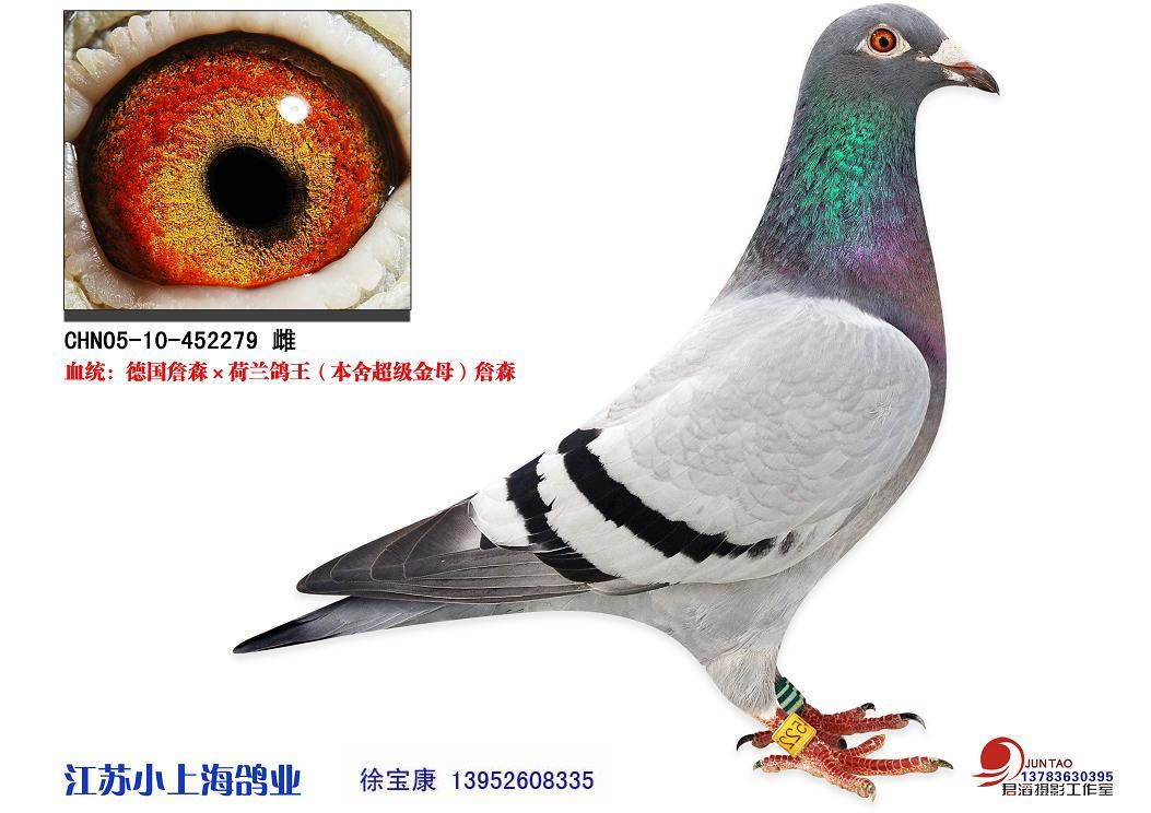 德国雅可比詹森*荷兰詹森鸽王_江苏小上海鸽业