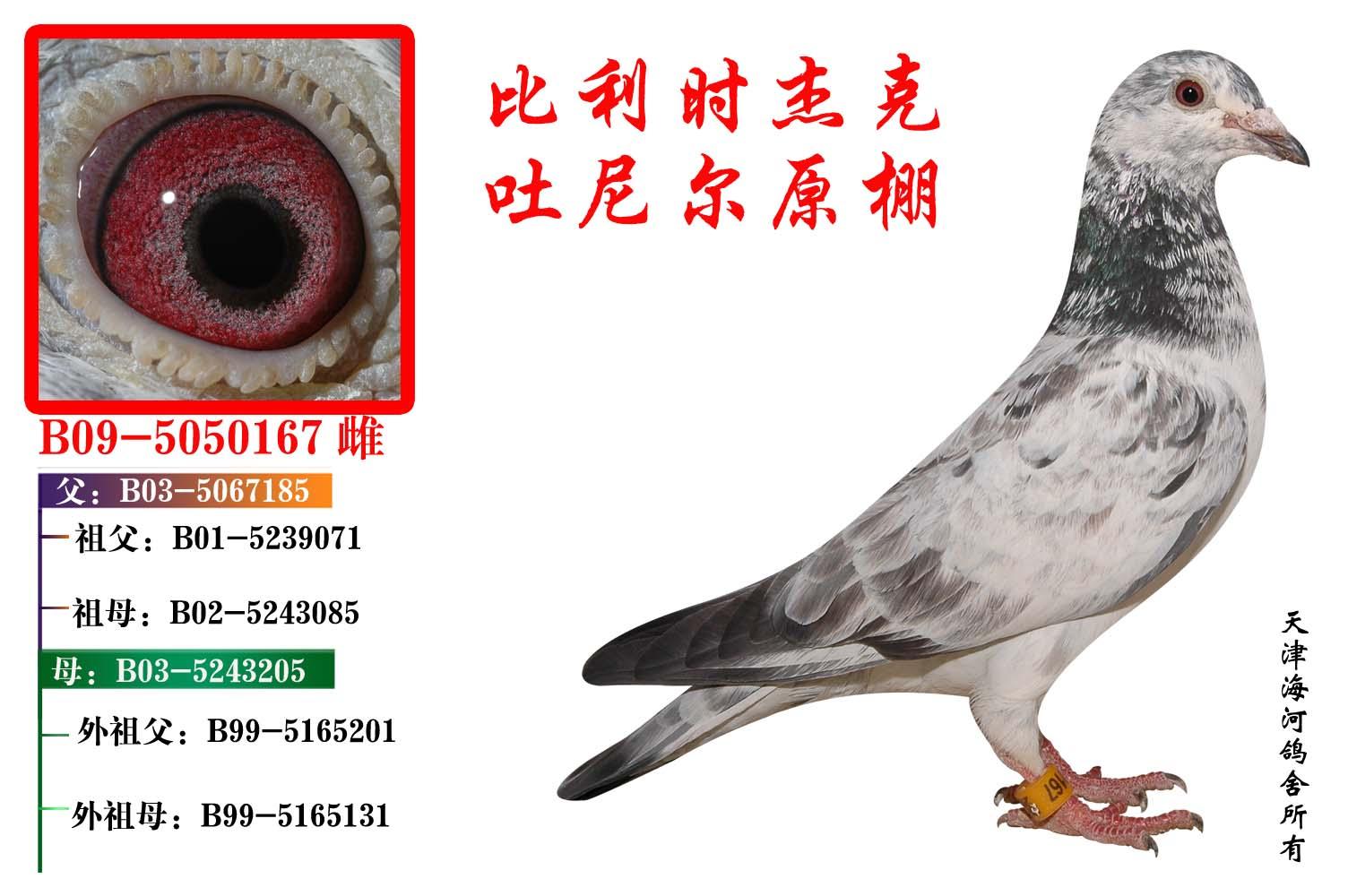 珍珠眼信鸽图片_信鸽特征
