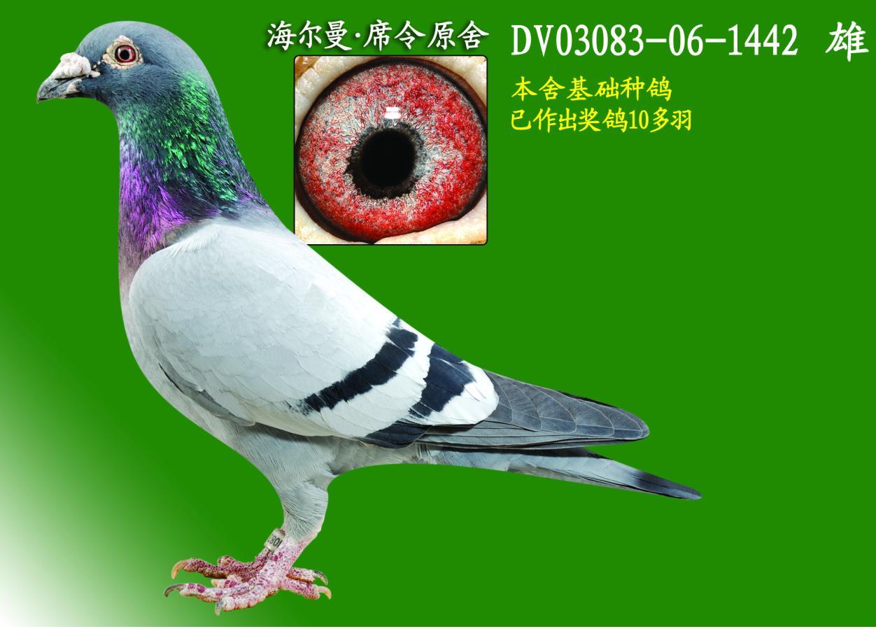 海尔曼·席令_龙凤鸽业_ ag188.com爱鸽商城