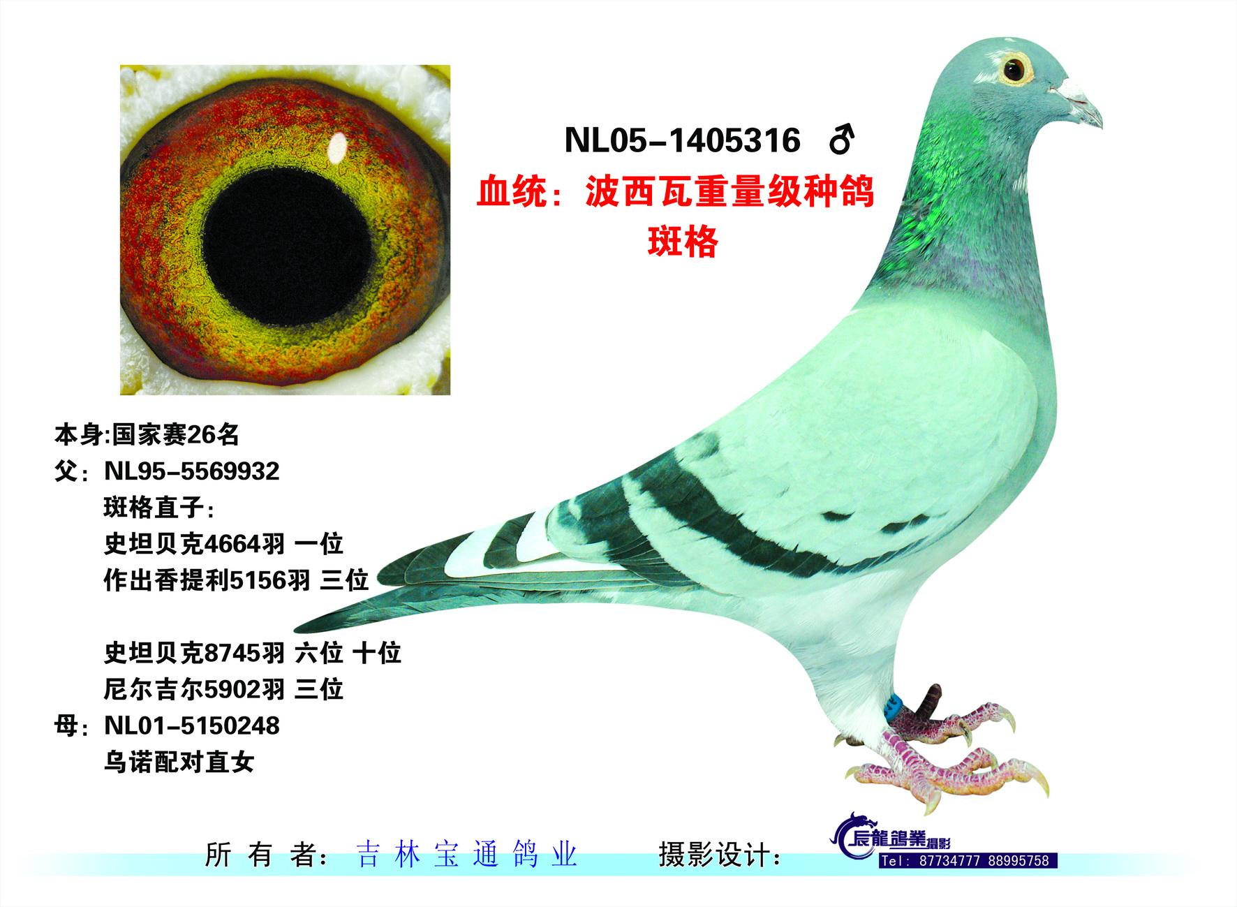 波西瓦重量级种鸽斑格