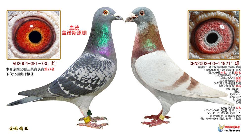 信鸽羽色配对_黄金配对2-三关鸽王冠军之父母_金纺鸽业-中信网爱鸽商城