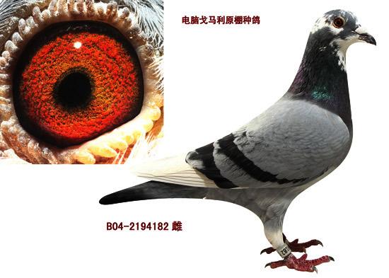 金翼家园_金翼家园_ag188.com爱鸽商城