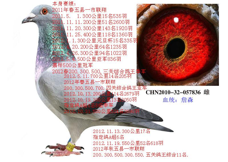 四关鸽王总亚军(已售西安)