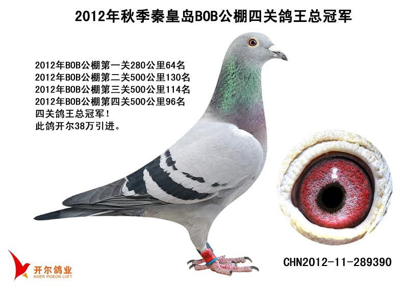 【BOB女皇】:12年BOB四关鸽王冠军