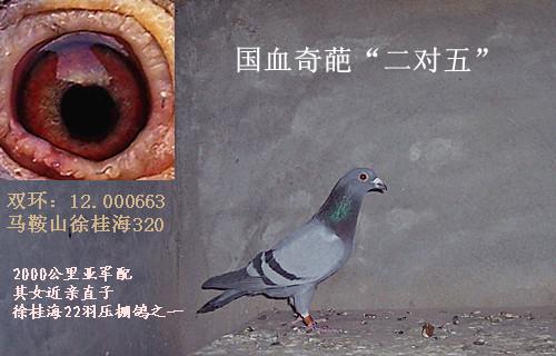 汪顺兴老桃花信鸽图片