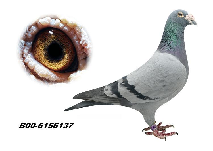 """胡本名鸽""""西尔维斯特"""""""
