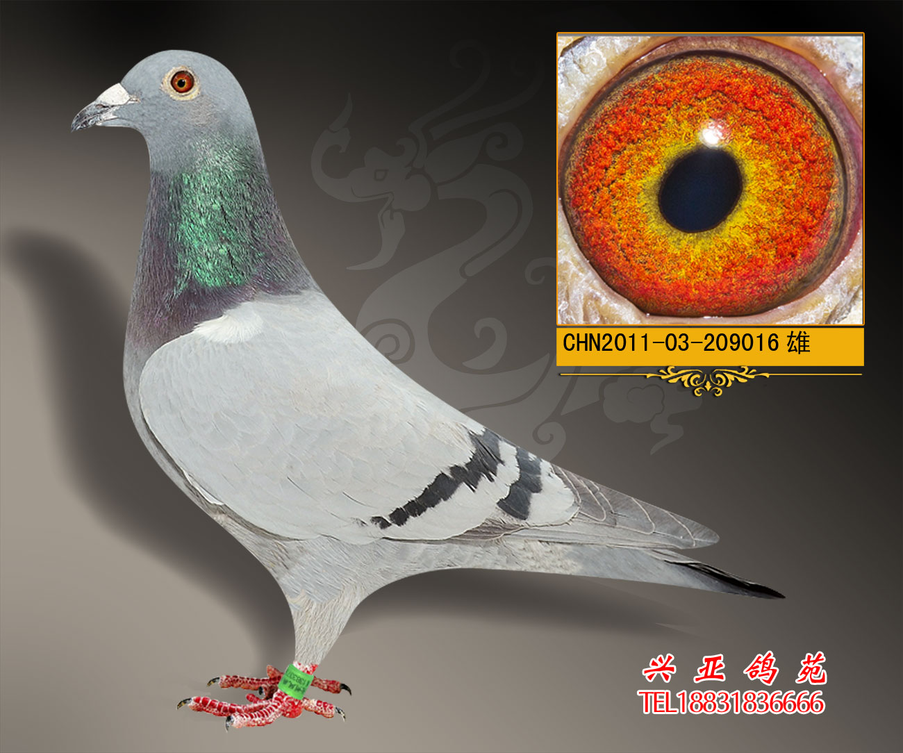 泰山号近亲_河北兴亚鸽苑_ ag188.com爱鸽商