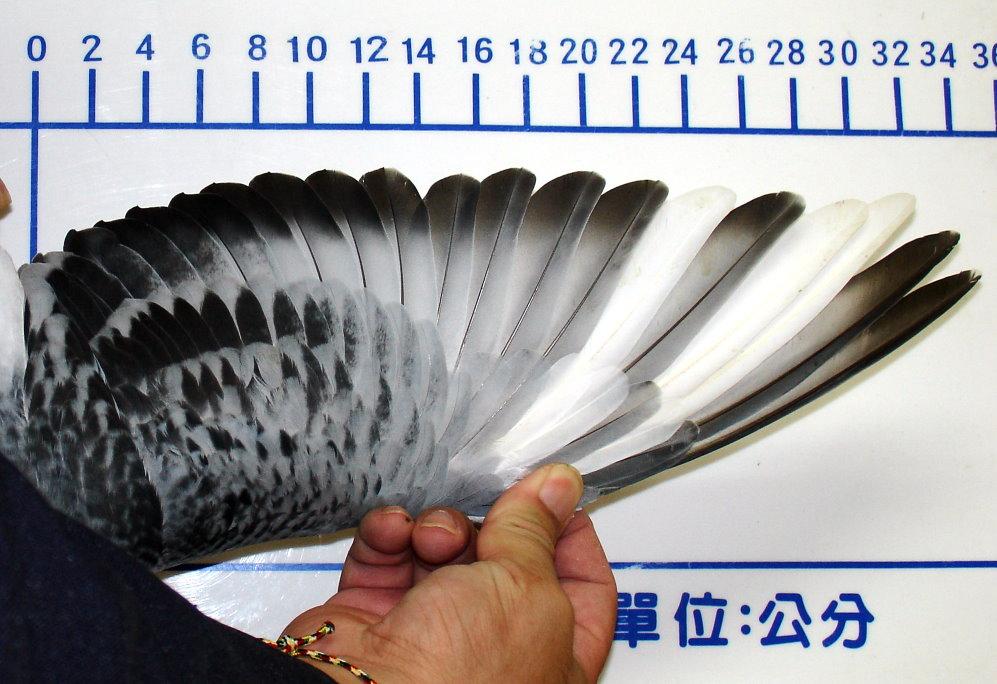 picsart翅膀素材 鸽子