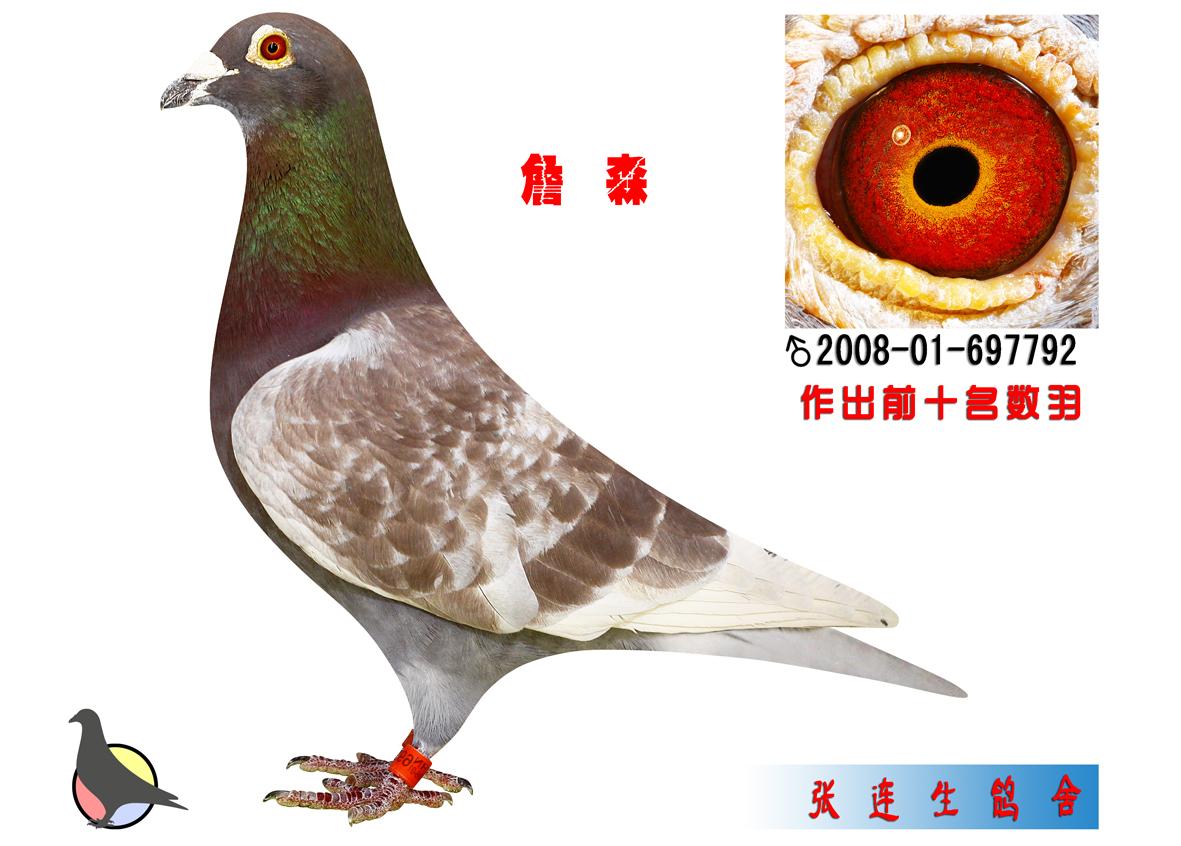 詹森_新世纪鸽舍-张连生-中信网爱鸽商城