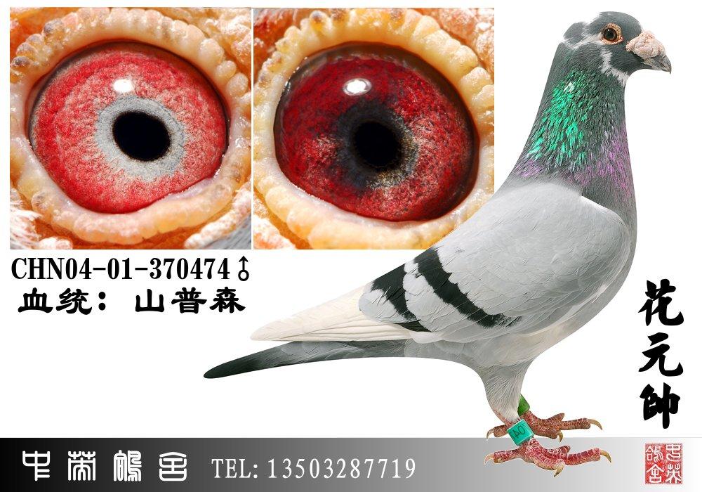 千公里赛鸽冠军图片-信鸽眼砂几种配法 红绛信鸽眼砂配对图 信鸽眼砂
