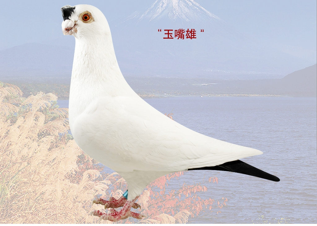观赏鸽点子图片_9-豆瓣嘴2号配平头老母之子-老北京观赏鸽-中信网爱鸽商城
