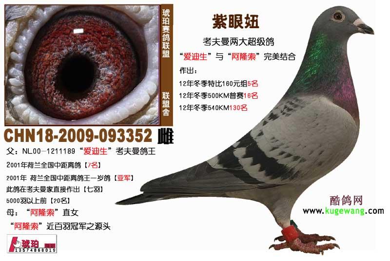 眼 妞 中国 信鸽