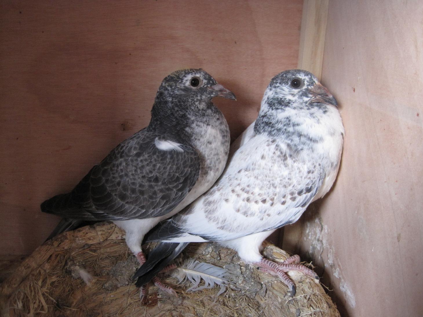 幼鸽成长图 鸽子成长过程图片图片