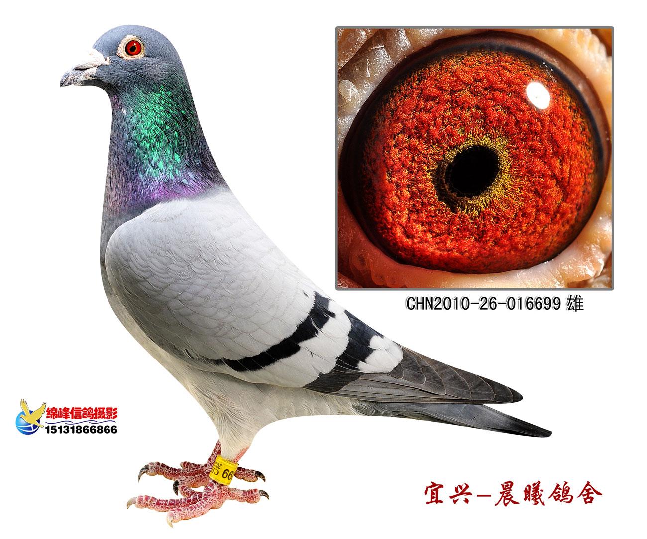 胡本系699 晨光信鸽