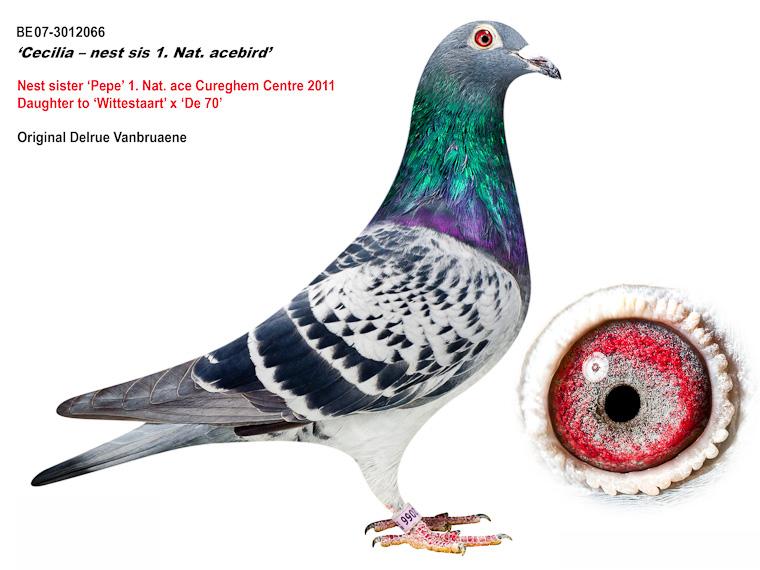 凡布利安娜(原舍)鸽王冠军胞妹