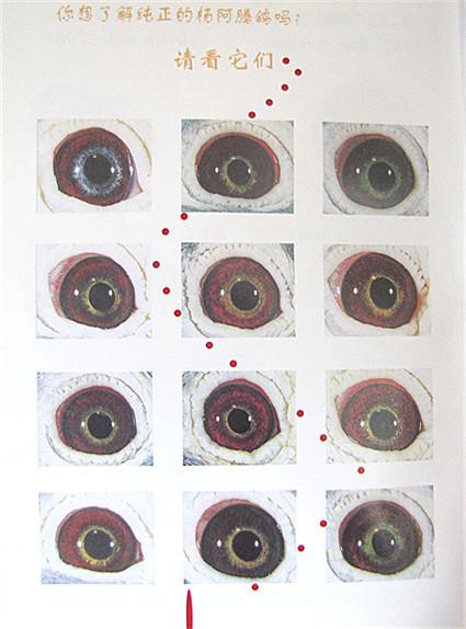 杨阿腾眼睛特征展示